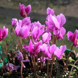 Rosa Herbst-Alpenveilchen