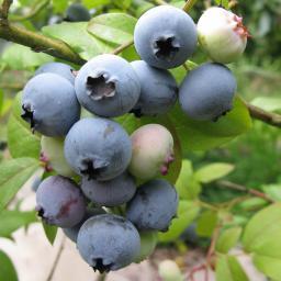 Heidelbeere Bluegold