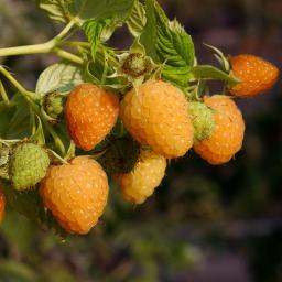 Stachellose Himbeere Autumn Amber