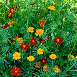Tagetes Mexican Twist-Mischung