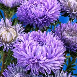 Asternsamen Syringa Lavender