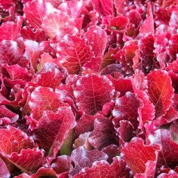 Salatsamen Schnittsalat Rosedale
