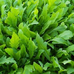 BIO Kräuterpflanze Wasabi-Rucola