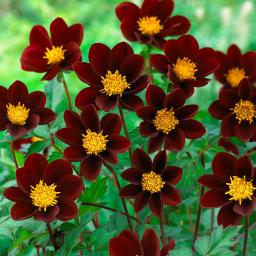 Dahlie Mexican Star