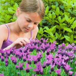 Schmetterlingslavendel Flirt Purple