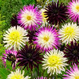 Kaktusdahlien Charming Dahlia-Mischung