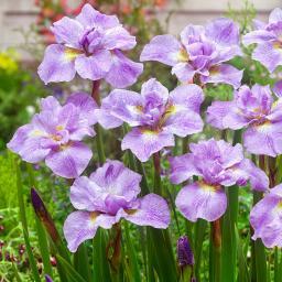 Japanische Pracht-Iris Rikugi Sakura