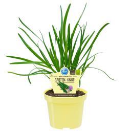 Blu Bio-Kräuterpflanze Gartenknofi