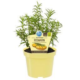 Blu Bio-Kräuterpflanze Rosmarin