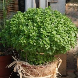 BIO Kräuterpflanze Griechisches Basilikum