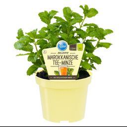 Blu Bio-Kräuterpflanze Marokkan. Minze