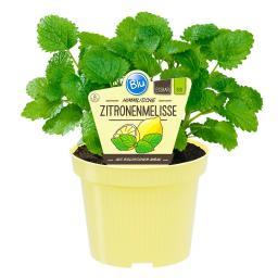Blu Bio-Kräuterpflanze Zitronenmelisse