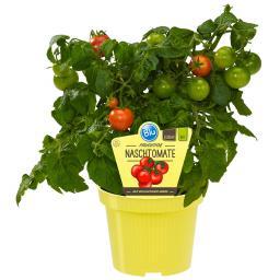 BIO Gemüsepflanze Naschtomate, im ca. 12 cm-Topf