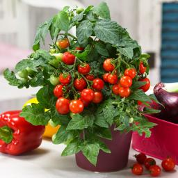 BIO Tomatenpflanze Nasch-Tomate