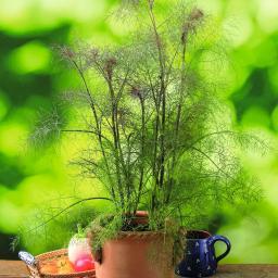 Bronzefenchelpflanze Smokey, im ca. 12 cm-Topf