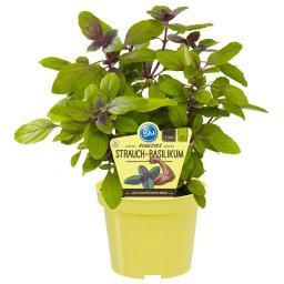 Blu Bio-Kräuterpflanze Strauch-Basilikum