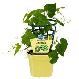 Blu Bio-Gemüsepflanze Gurke Mexikanische Minigurke