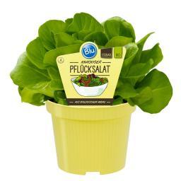 Blu Bio-Gemüsepflanze Pflücksalat