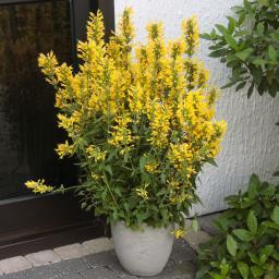 Duftnessel Kudos Yellow XL-Qualität