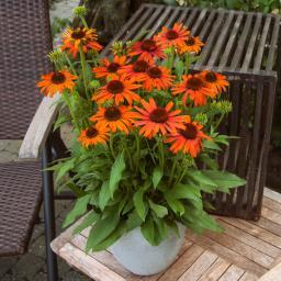 Sonnenhut Orange Skipper, XL-Qualität