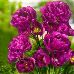 Tulpe Mariola