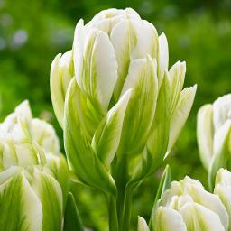 Tulpe Harborlight