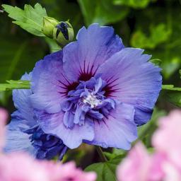 Gefüllter Garten-Hibiskus, blau