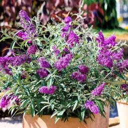 Kompakter Schmetterlingsflieder, violett, im ca. 25 cm-Topf