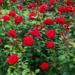 Rose Burgund, im 4,5-Liter-Topf