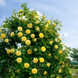 Rose Golden Gate, im 5,5-Liter-Topf