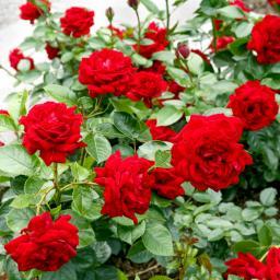 Rose Jugendliebe, im 4,5-Liter-Topf