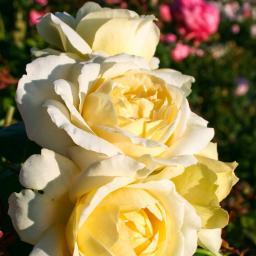 Rose La Perla, im 4,5-Liter-Topf