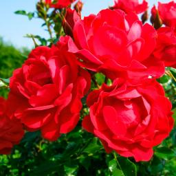 Rose Limesglut, im 4,5-Liter-Topf
