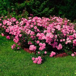 Rose Mirato, im 4,5-Liter-Topf