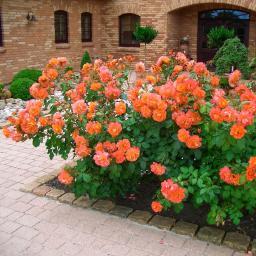 Rose Westerland, im 5,5-Liter-Topf