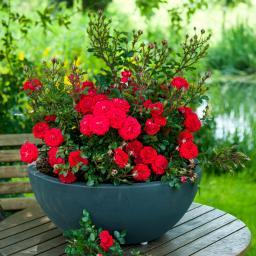 Rose Zwergenfee, im 3,5-Liter-Topf