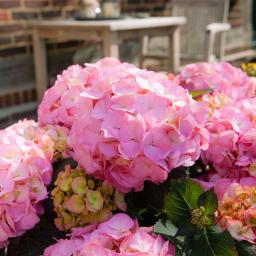 Hortensie Kanmara, rosa