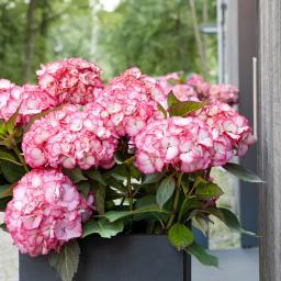 Hortensie Kanmara, pink, im ca. 23 cm-Topf