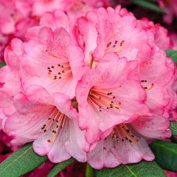 Rhododendron Wine & Roses ®, im ca. 19 cm-Topf