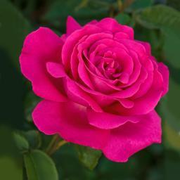 Rose Velasquez®, im 5-Liter-Topf