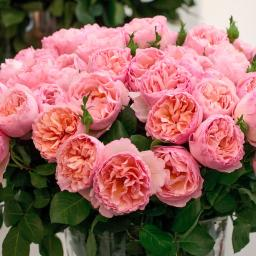 Rose Duftjuwel®, im 5-Liter-Topf