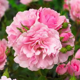 Rose Bonica 82®, im 5-Liter-Topf