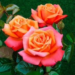Rose Troika®, im 5-Liter-Topf