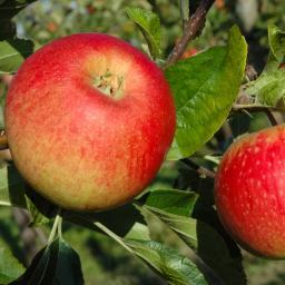 Apfel Piflora