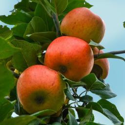 Apfel Goldparmäne, dreijährig