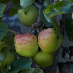 Apfel Gravensteiner, dreijährig