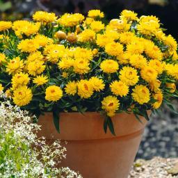Gelbe Strohblume, XL-Qualität