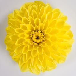 Gelbe Sommer-Dahlie, XL-Qualität