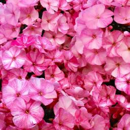 Zauberphlox Red Shades