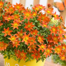 Mini-Jungpflanze Bidens Beedance Orange Splash